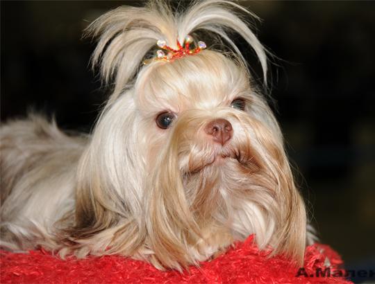 Русская цветная болонка - это... У нас можно купить щенка цветной болонки. Питомник Секреты Виктории. Вязки. 8-905-737-10-30