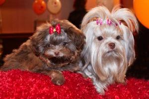 фото русская цветная болонка история породы стандарт питомник купить щенка