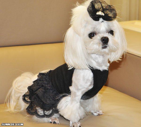 Мальтийская болонка - это... У нас можно купить щенка мальтезе. Питомник Секреты Виктории. Вязки. 8-905-737-10-30