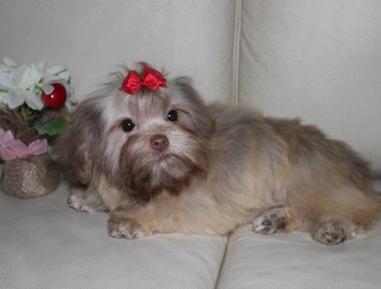 ОЛИМПИЯ - щенок русской цветной болонки