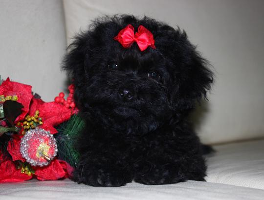ШАХТЕР - щенок русской цветной болонки