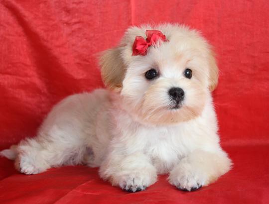 НОТКА - щенок русской цветной болонки