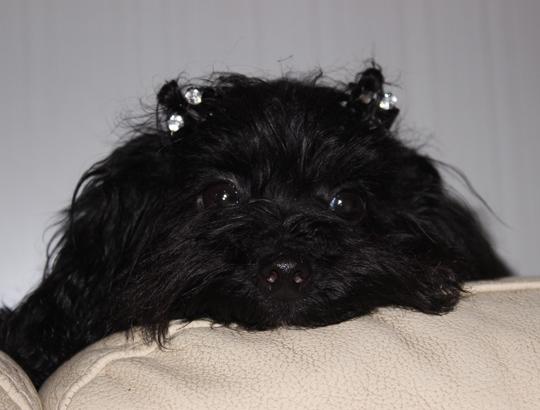 МИРАНА - щенок русской цветной болонки